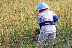 L'Indonesia, Java: Agricoltura del riso Fotografia Stock