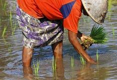 L'Indonesia, Java: Lavoro nel ricefield Fotografia Stock