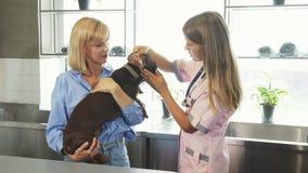 L'infermiere cheking sulle orecchie dei tasso-cani del tedesco archivi video