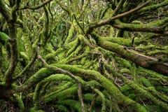 L'inferno di gree Radici e tronchi muscosi in foresta profonda immagine stock