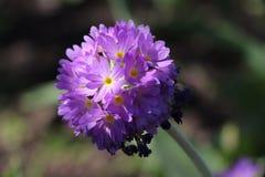 L'inflorescence du plan rapproché de primevère dans le jardin Photo libre de droits