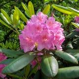 L'inflorescence du rhododendron, rose Jardin botanique, Photo stock