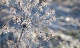 L'inflorescenza appassita goutweed nei raggi del tramonto Immagine Stock