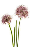 L'inflorescenza della cipolla decorativa, allium ornamentale fiorisce, Fotografia Stock Libera da Diritti