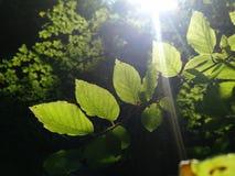 L'inizio dell'estate verde Fotografie Stock Libere da Diritti