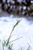 L'inizio dell'inverno, una lama di erba in un campo Immagini Stock