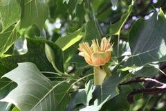 L'inizio della fioritura di un liriodendron. Immagine Stock Libera da Diritti