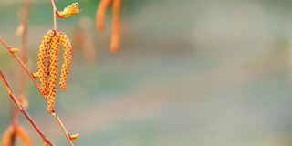 L'inizio della molla, orecchini sulla betulla, sfondo naturale immagine stock