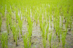 L'inizio della pianta di riso cresce da suolo Immagini Stock