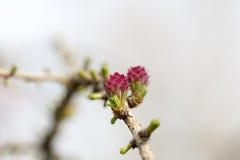 L'inizio della sorgente Le foglie del fiore e gli alberi nascono dopo l'inverno Fotografia Stock