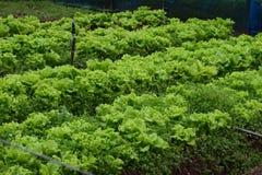 L'insalata lascia la piantagione nello Sri Lanka Fotografie Stock Libere da Diritti