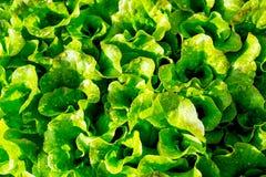 L'insalata verde lascia nel giardino dell'agricoltore Immagine Stock Libera da Diritti