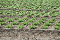 L'insalata verde sta sviluppandosi nel campo Fotografia Stock Libera da Diritti