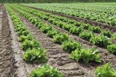L'insalata verde sta sviluppandosi nel campo Fotografie Stock