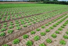 L'insalata verde sta sviluppandosi nel campo Fotografia Stock