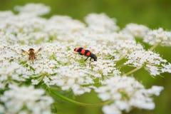 L'insecte apprécie la fleur Image libre de droits