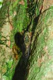 L'insecte chantant sur les arbres Photographie stock