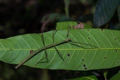 L'insecte de bâton Phobaeticus photos stock