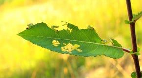 L'insecte de chenille de jardin endommage Parasite de ver mangeant des feuilles dans le verger de ferme de fruit photographie stock libre de droits
