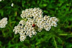 L'insecte de dame marchant dans le paradis Images libres de droits