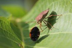 L'insecte de puanteur prennent la coccinelle image libre de droits