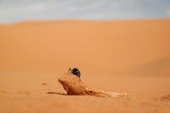 L'insecte mange les carcasses animales Photographie stock libre de droits