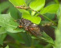 Insecte une cigale Image libre de droits