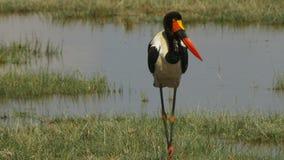 L'inseguimento del colpo di una sella adulta ha fatturato la cicogna al parco nazionale di amboseli archivi video