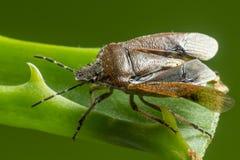 L'insetto del bacino (marginatus di Coreus) Fotografie Stock