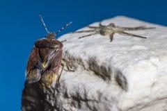 L'insetto del bacino (marginatus di Coreus) Immagini Stock Libere da Diritti
