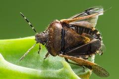 L'insetto del bacino (marginatus di Coreus) Fotografia Stock