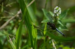 L'insetto del corpo ha allungato il blu ed il rosso di colore Fotografia Stock