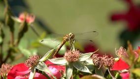 L'insetto della libellula Coenagrion si siede su un fiore Macro metraggio archivi video