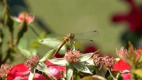 L'insetto della libellula Coenagrion si siede su un fiore Macro metraggio video d archivio