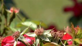L'insetto della libellula Coenagrion si siede su un fiore Macro metraggio stock footage