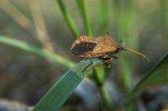 L'insetto di Brown su erba verde va via Fotografia Stock
