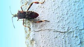 L'insetto di Brown triatominae su un †bianco della parete «ostacola, primo piano, dettaglio stock footage