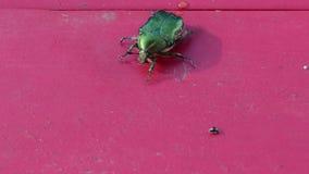 L'insetto di verde del rinforzo rosa del primo piano sulla tavola di legno rossa prepara volare video d archivio