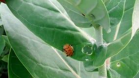 L'insetto nero-arancio del pois Immagini Stock