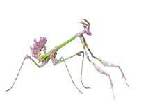 L'insetto predatore pericoloso del mantide prende la preda Immagine Stock