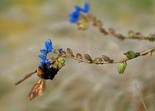 L'insetto variopinto sul fiore blu raccoglie il polline fotografia stock libera da diritti