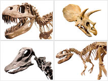 L'insieme dei dinosauri T-Rex di scheletro, Diplodocus, triceratopo, su bianco ha isolato il fondo Immagine Stock