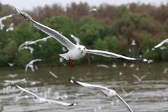 L'insieme dei gabbiani di volo, i gabbiani bianchi sorvola il mare a Bangpu Fotografia Stock