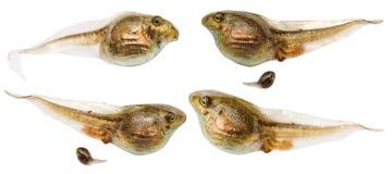 L'insieme dei girini della rana si chiude su isolato su bianco Immagini Stock Libere da Diritti