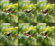 L'insieme del collage di color scarlatto ha appoggiato l'uccello di Flowerpecker sul cibo y dell'albero Fotografie Stock Libere da Diritti