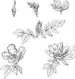L'insieme del disegno lineare fiorisce dal rovo dolce Fotografie Stock Libere da Diritti