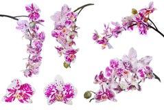 L'insieme dell'orchidea isolata fiorisce con i grandi punti rosa Immagine Stock