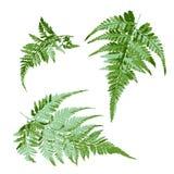 L'insieme della felce verde va, illustrazione di vettore della pianta tropicale Fotografia Stock Libera da Diritti