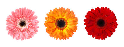 L'insieme della gerbera del fiore germoglia nei colori differenti isolata su fondo bianco Immagini Stock