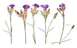 L'insieme della molla porpora ha asciugato e premuto i fiori Isolat dell'erbario immagini stock libere da diritti